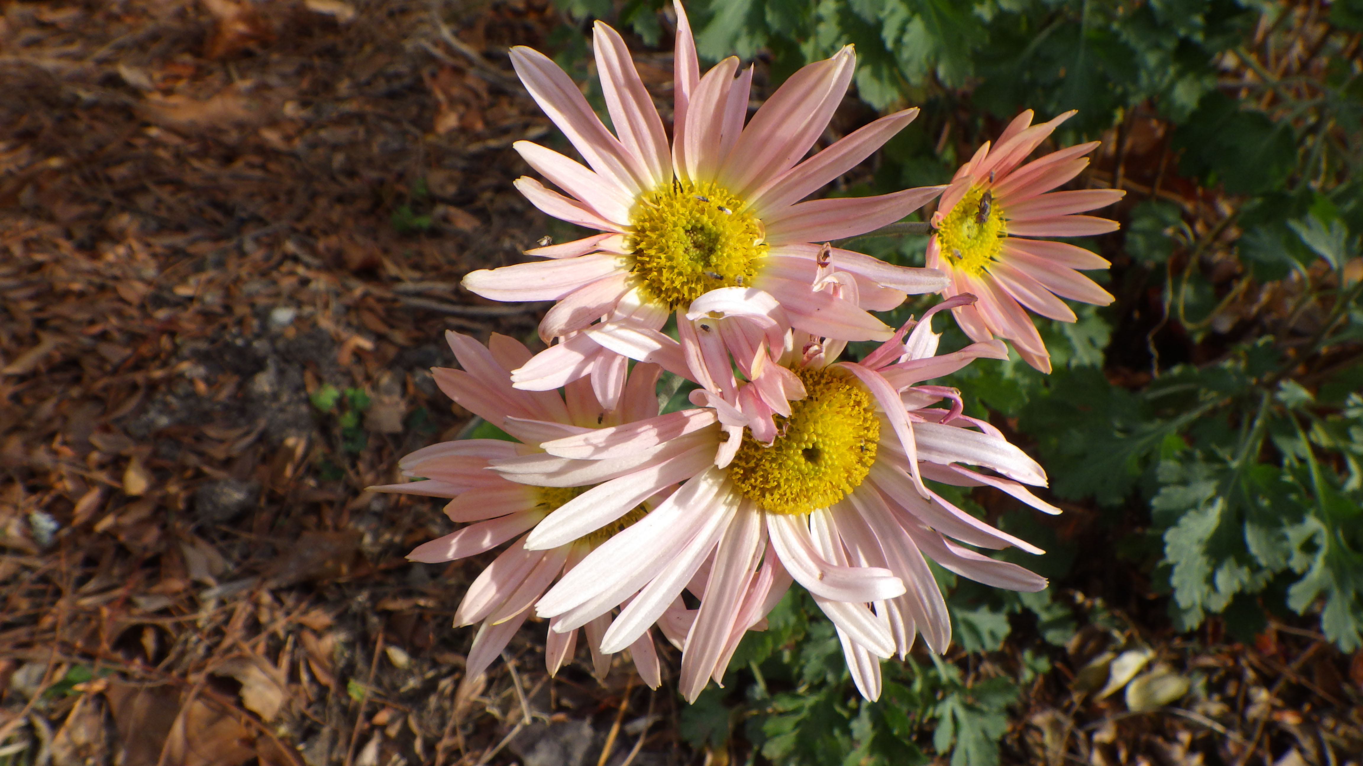 Chrysanthemum  'Hillside Sheffield Pink'