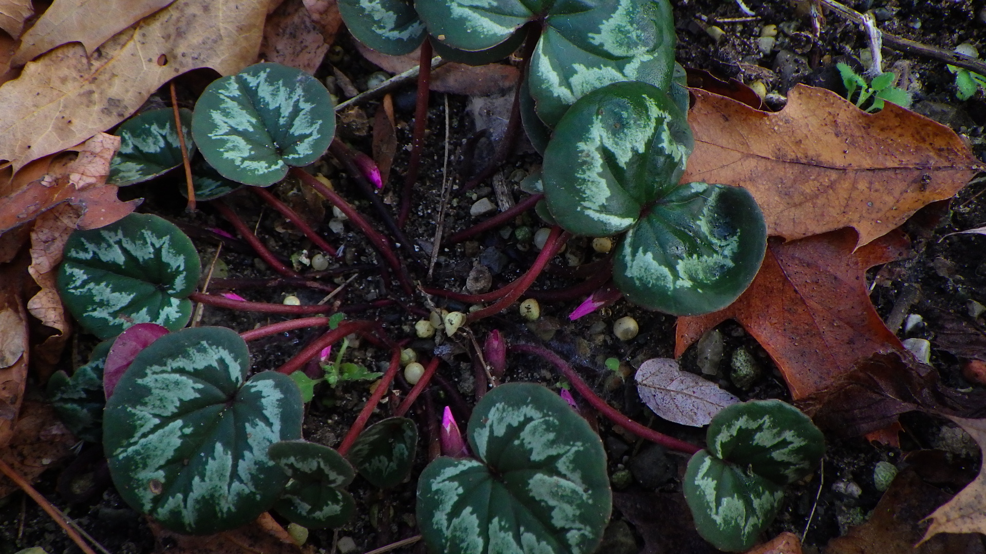 Cyclamen coum -- promise for March