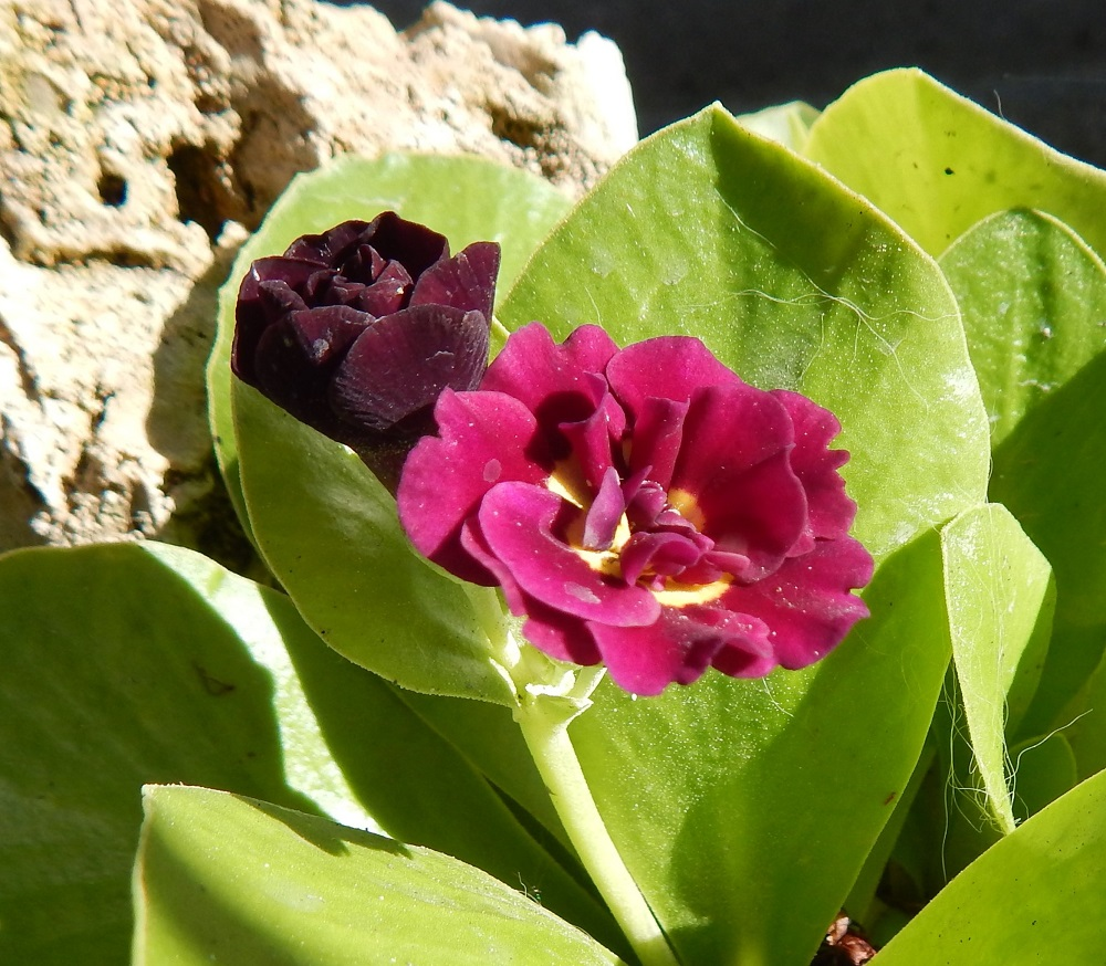 Primula auricula 'Forest Twilight'