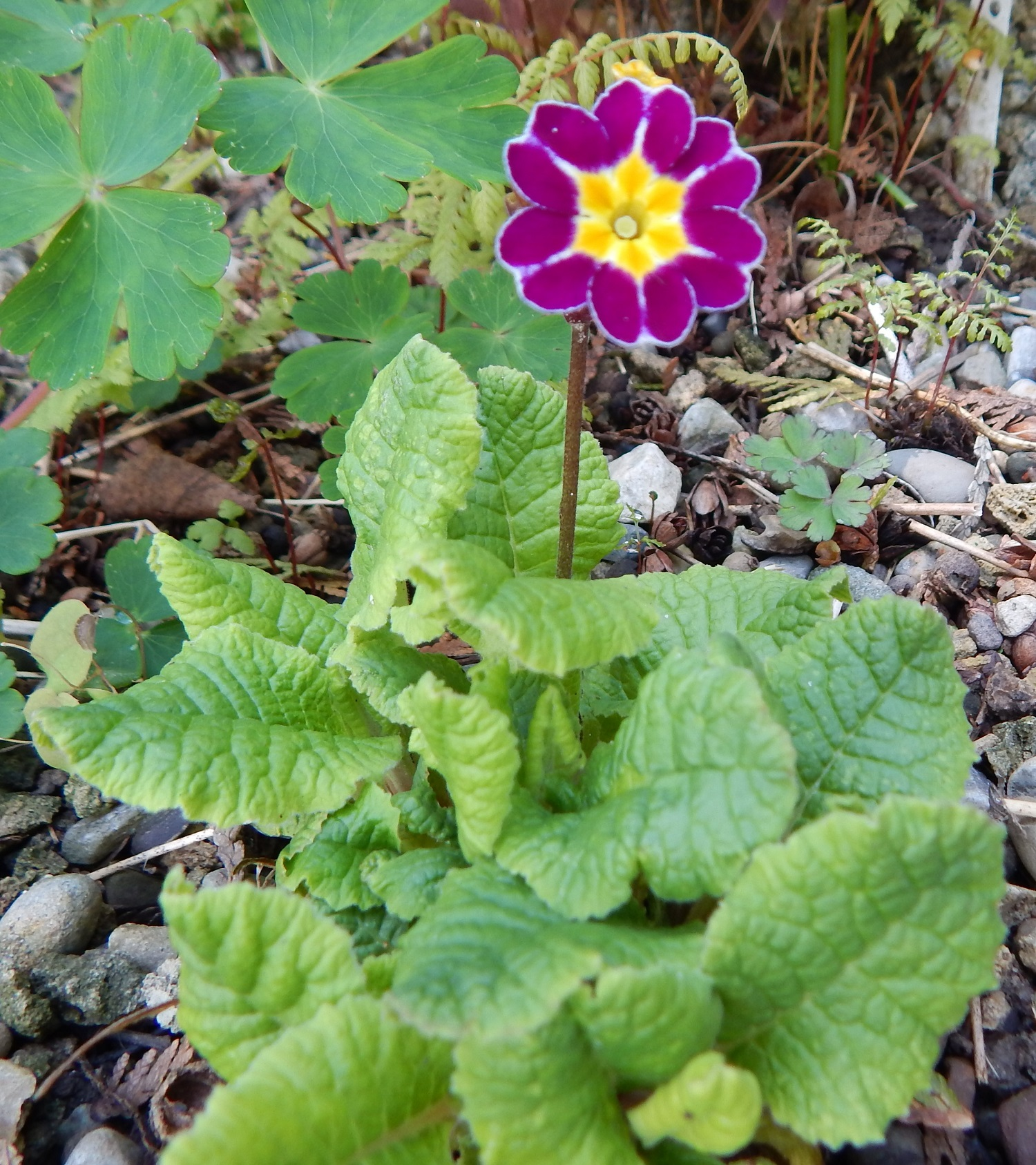 Primula polyanthus Barnhaven seed mix