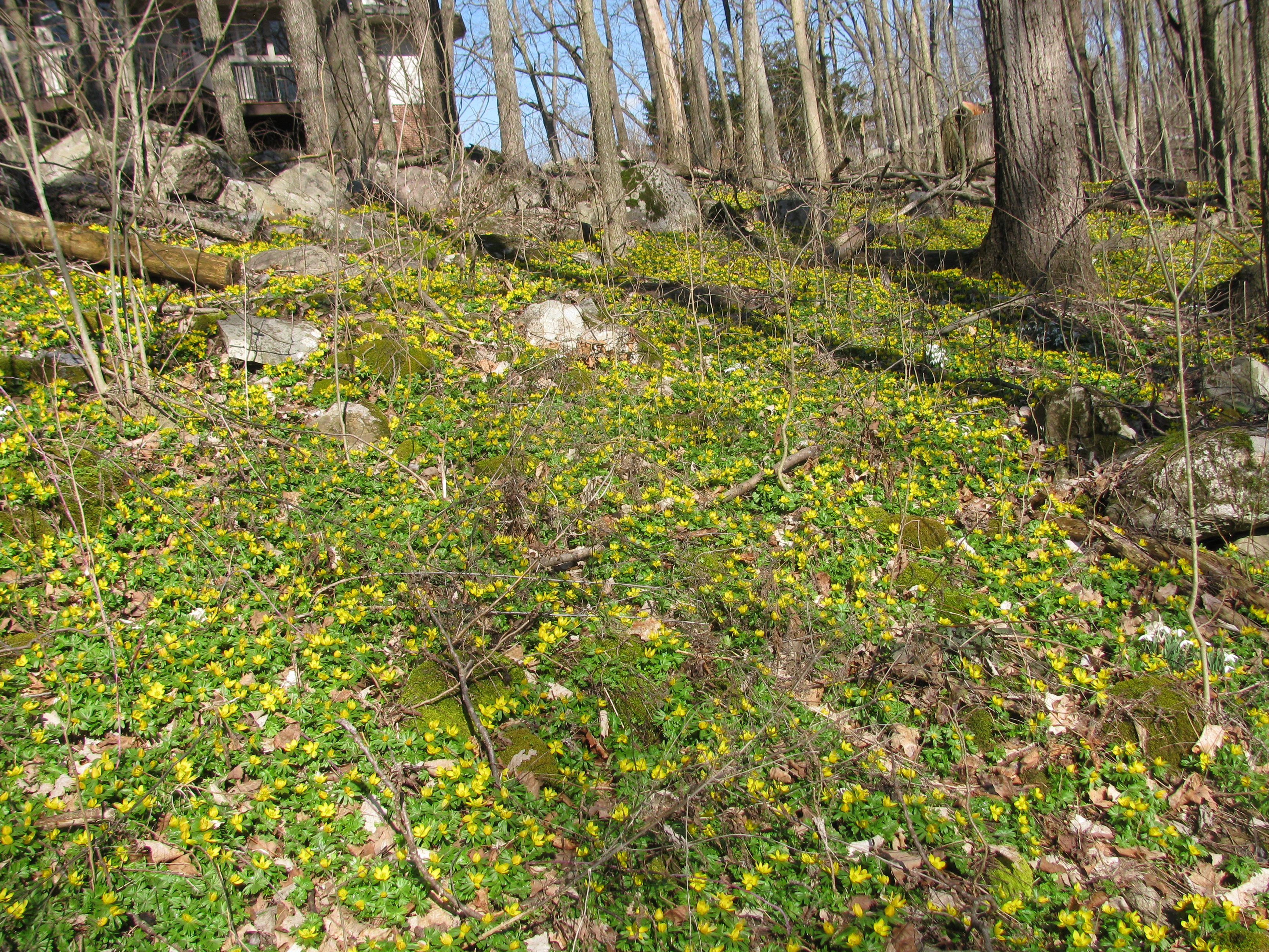 Eranthis in a wood lot seen by Jacques Thompson and Don Lafond