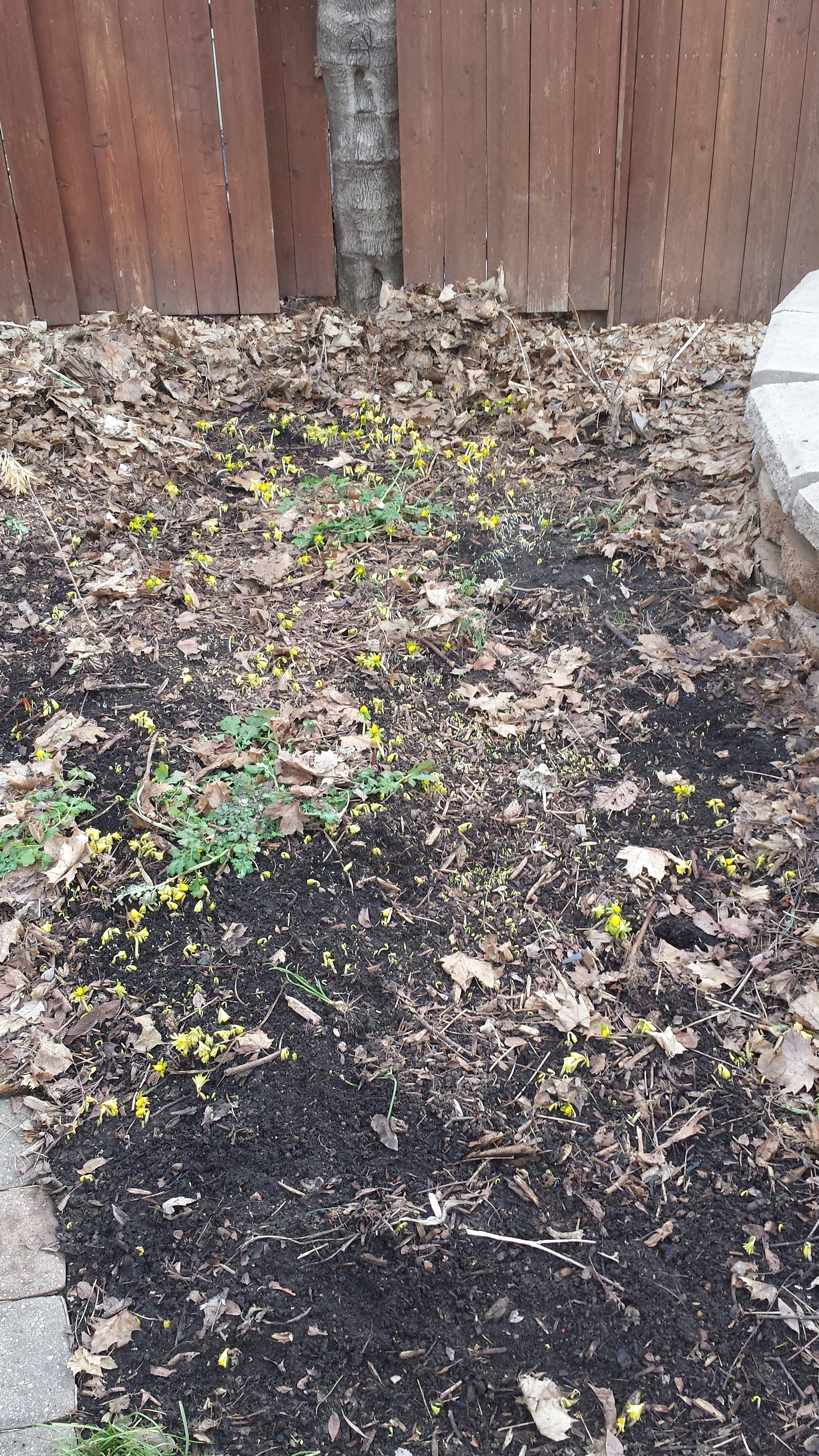 Eranthis bed on 2015-03-16, 5 years ago