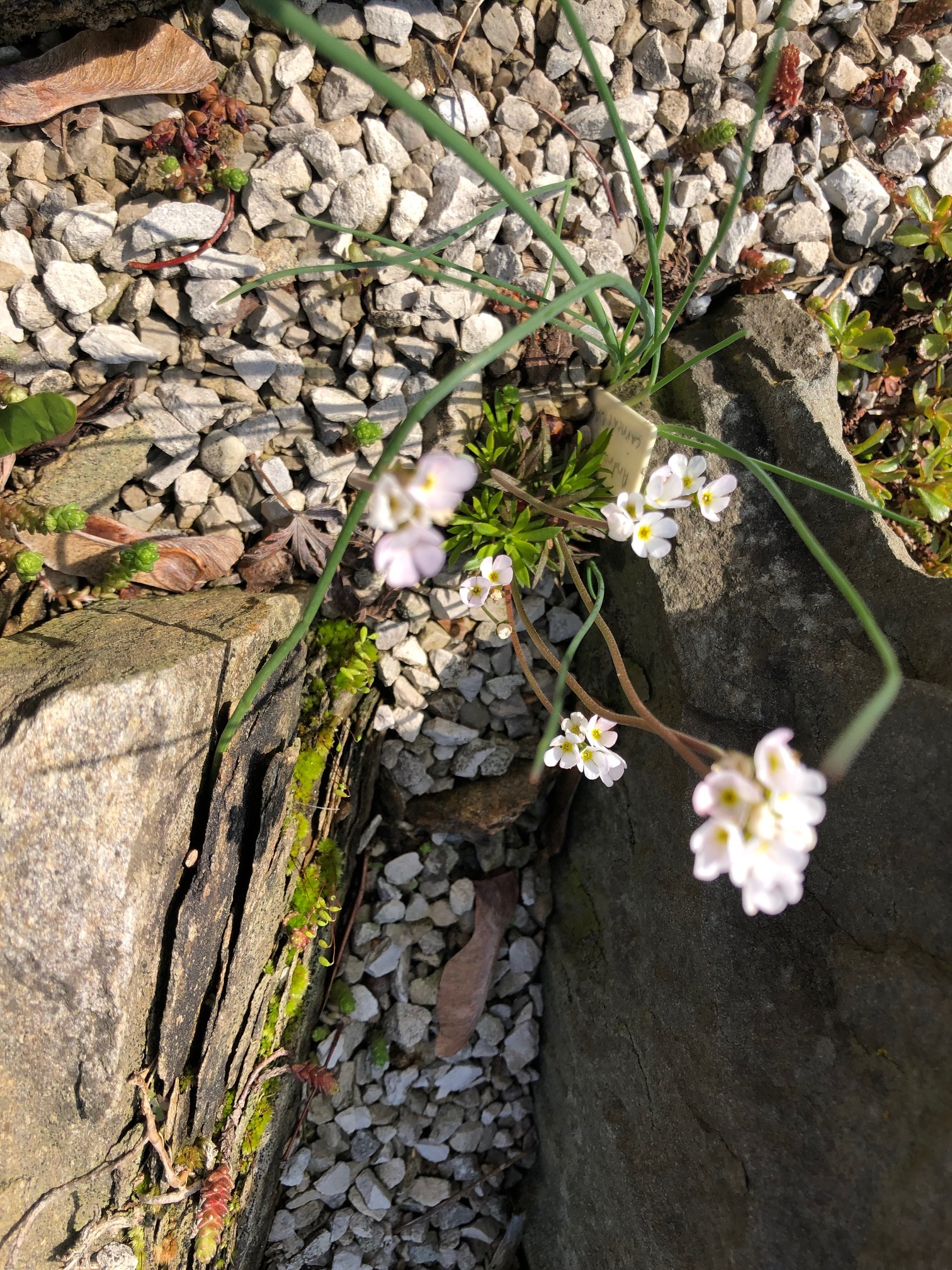 Draba in crevice