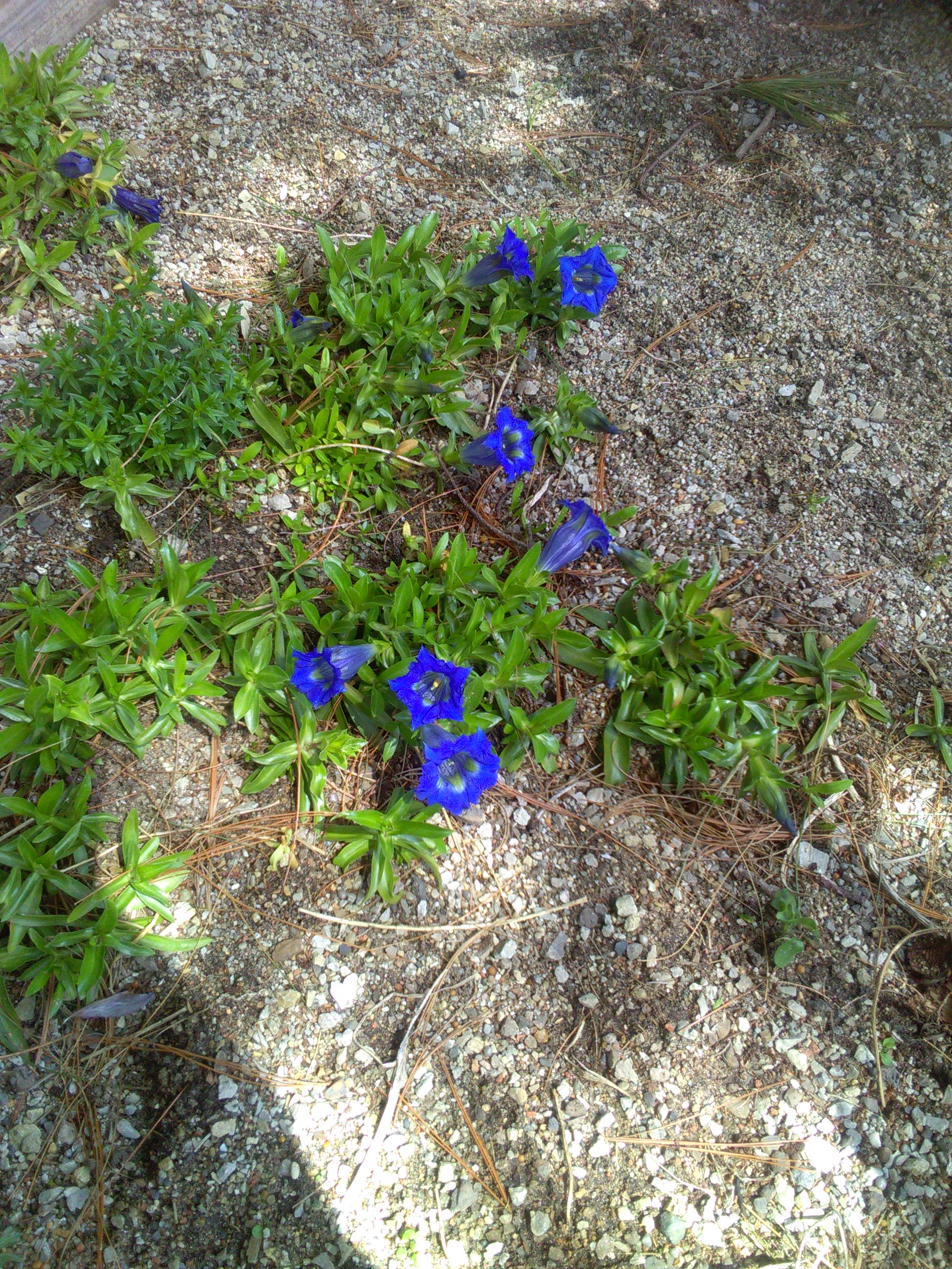 Gentiana acaulis in seed bed