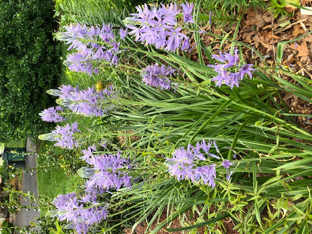 Camassia: better now