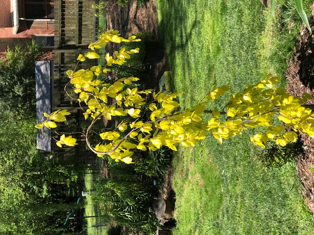 A yellow leaf weeping birch from Andy. Makes great spring color but burns in our hot summer, even in shade
